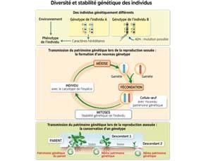 Diversité et stabilité génétique des individus