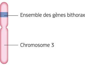 Le chromosome 3 de la drosophile