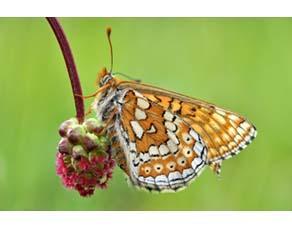 Papillon Damier des marais