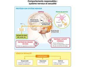 Comportements responsables : système nerveux et sexualité