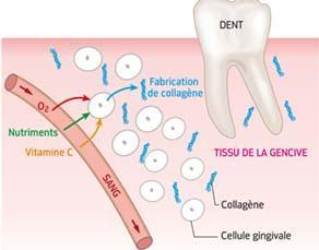 Le rôle de la vitamine C à l'échelle des tissus et des cellules gingivales