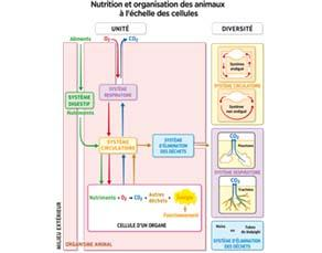 Nutrition et organisation des animaux, à l'échelle cellulaire