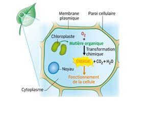 Utilisation de la matière organique pour le fonctionnement des cellules