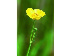 Fleur de renoncule