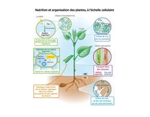Nutrition et organisation des plantes, à l'échelle cellulaire