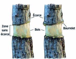 Formation d'un bourrelet sur l'écorce d'un bois