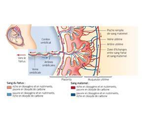 La circulation du sang maternel et du sang fœtal au niveau du placenta
