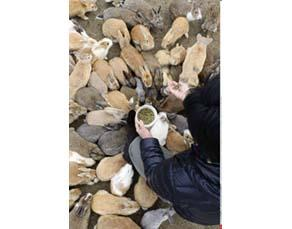 Lapins sur l'île d'Okunoshima au Japon