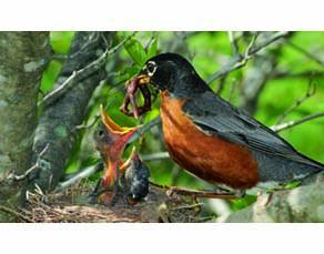 Un rouge-gorge nourrissant ses petits