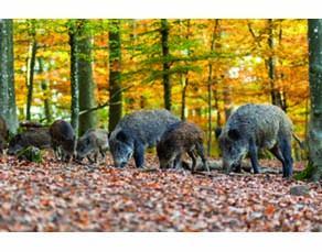 Des sangliers dans une forêt, Allemagne