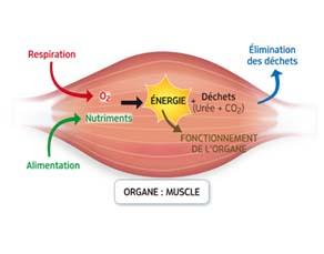 Utilisation des nutriments et du dioxygène pour le fonctionnement des organes