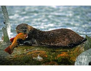 Une loutre en train de manger un poisson