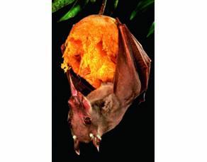 Une chauve-souris se nourrissant d'une mangue