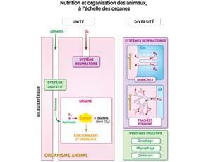 Nutrition et organisation des animaux, à l'échelle des organes