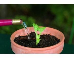 Une jeune plantule de pélargonium