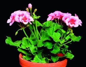 Plant de pélargonium