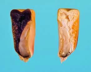 Mise en évidence de l'amidon dans un grain de maïs non germé