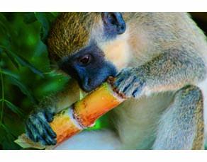 Un singe mangeant un morceau de canne à sucre
