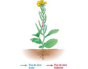 La circulation des deux sèves dans une plante