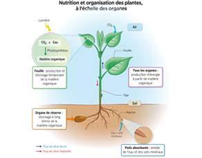 Nutrition et organisation des plantes, à l'échelle des organes