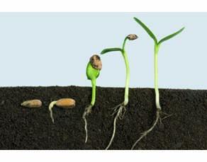 Séquences de germination, tournesol