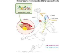 Réaliser des mouvements grâce à l'énergie des aliments