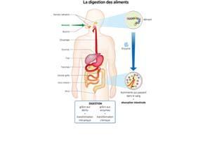 La digestion des aliments