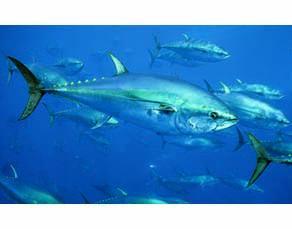 Le thon rouge, une espèce consommée par l'être humain