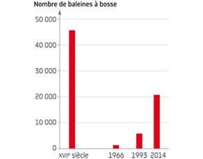 Évolution du nombre de baleines à bosse en Atlantique Nord depuis le XVIIe siècle