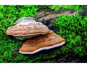 Un champignon se développant sur le tronc des vieux arbres ou des arbres morts