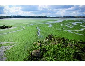 Marée verte dans la baie de Saint Brieuc