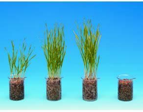 Influence de la dose d'engrais sur des cultures de blé