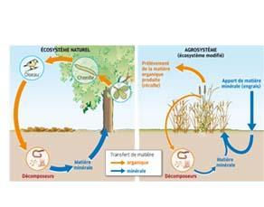 Le champ de blé, un écosystème cultivé
