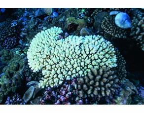 Coraux blanchis