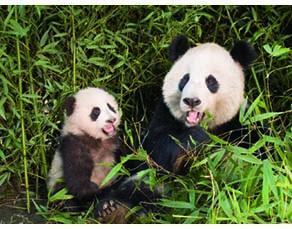Un panda et son petit