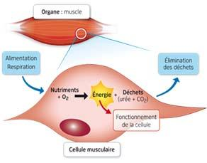 Utilisation des nutriments et du dioxygène pour le fonctionnement des cellules des organes