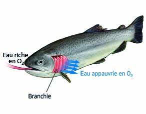 La respiration d'un poisson, la truite