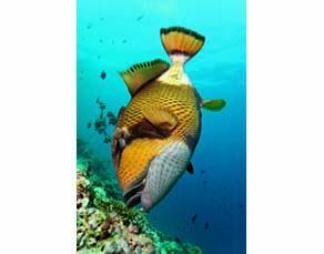 Un poisson en train de se nourrir de corail