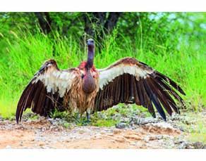 Un vautour venant de se nourrir