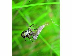 Une araignée en train de se nourrir