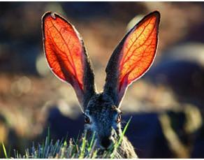Des vaisseaux sanguins dans les oreilles d'un lièvre
