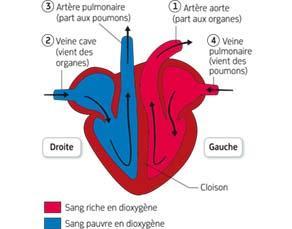 Schéma du cœur vu en face ventrale