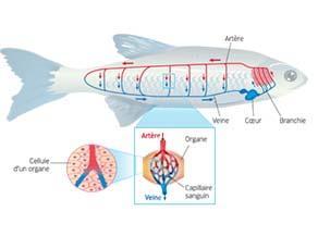 Le système circulatoire de la truite
