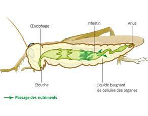 Approvisionnement en nutriments et dioxygène du liquide corporel chez le criquet