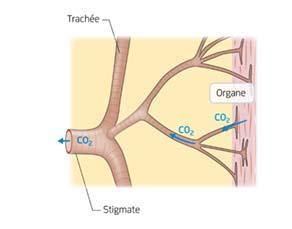 L'élimination du dioxyde de carbone par les trachées chez le criquet