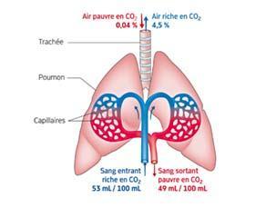 L'élimination du dioxyde de carbone par les poumons des mammifères