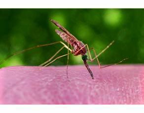 Le moustique, voie de transmission du paludisme