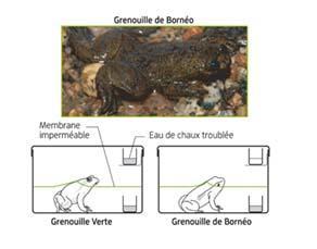 Expériences sur la respiration chez deux espèces de grenouille
