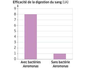 Efficacité de la digestion du sang dans l'intestin d'une sangsue