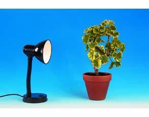 Plant de pélargonium à la lumière